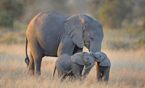 VOA : PBB Larang Pengiriman Bayi Gajah Liar ke Bonbin dan Sirkus